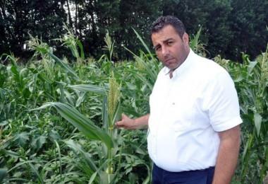 Mısır tarlalarında 'çizgili yaprak kurdu' paniği