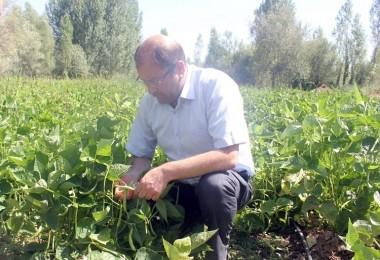 Tercan'da Taze Fasulye Yetiştiriciliği Geliştirilecek