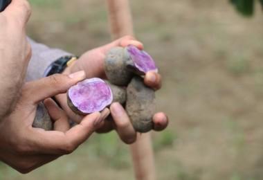 Bolu'da Mor Patatesin İlk Hasadı Yapıldı