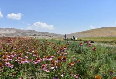 Kocasinan'da Tıbbi Ve Aromatik Bitkilerin İkinci Hasadı Başladı