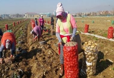 Patates Üreticileri İthalatın Kendilerine Zararı Olduğunu Belirtiyor