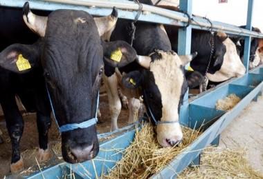 Bakan Pakdemirli; üreticinin elinde kalan kurbanlıkları Et ve Süt Kurumu alacak
