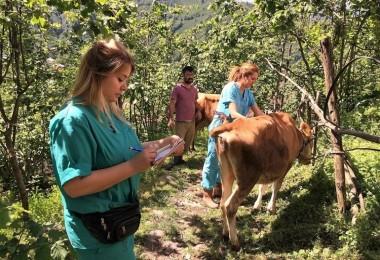 Giresun'da Şap Aşılama Kampanyası Düzenleniyor