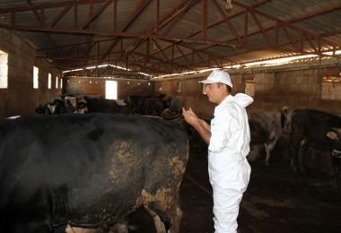 Giresun'da Şap Aşılama Kampanyası Başlıyor