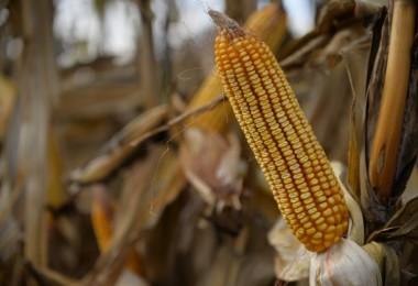 Buğday Ve Mısır Fiyatları Koronavirüs Salgını Endişeleriyle Geriledi
