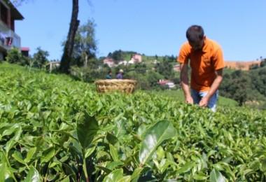 Bu Yıl 50 Dekar Damızlık Çay Bahçesi Oluşturulacak