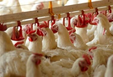 Yumurta Üretimi Azalırken, Tavuk Eti Üretimi Arttı