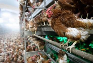 Beyaz ette kriz! Üretim yüzde 80 azaldı… Tesislerde 20 günlük tavuk kaldı