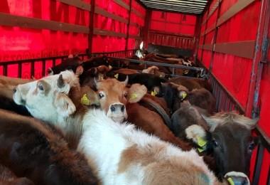 Tut'ta Genç Çiftçilere Büyükbaş Hayvan Dağıtımı Yapıldı