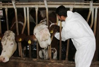 Bingöl'de 31 köyde sığır hastalığı nedeniyle karantina uygulaması