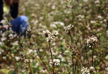 Eskişehir'de Karabuğday Üretimi Yüz Güldürdü