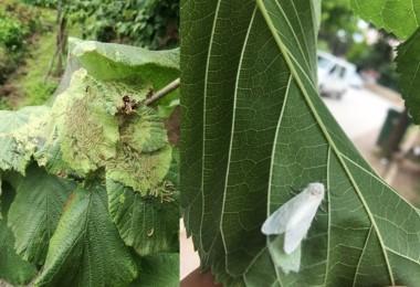 Amerikan Beyaz Kelebeği Zararlısına Karşı Mücadele Başarı İle Sonuçlandı