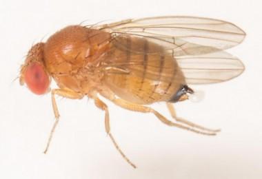 Kanadı Noktalı Sirke Sineği- Drosophila suzukii