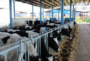 TÜİK, Hayvansal Üretim İstatistiklerini Açıkladı
