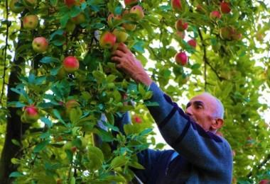 2 Bin Yıllık 'Amasya Misket Elması'na Özel Gen Bahçesi