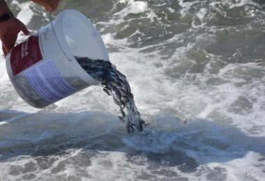Dikili'de yavru balıklar denizle buluştu