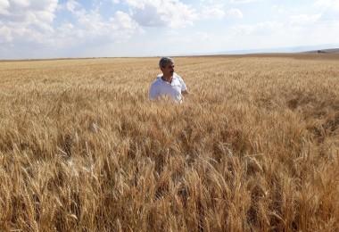 Yerli Buğday Çeşitleri Yozgat'ta İyi Sonuç Verdi