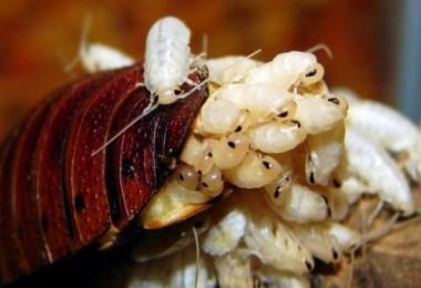 Geleceğin süper besini diyorlar: Hamam böceği sütü