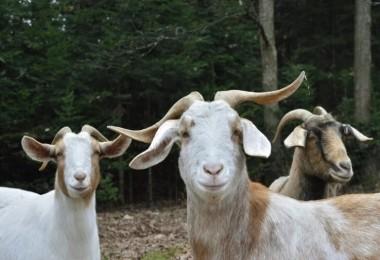 İnanılmaz olay! Keçiler gözaltına alındı