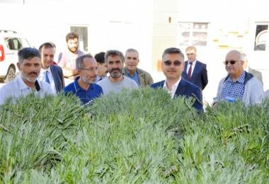 Eskişehir'de Üreticilere Lavanta Fidesi Dağıtıldı