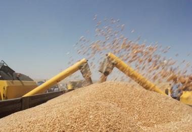TMO'dan 250 Bin Ton Buğday İhalesi