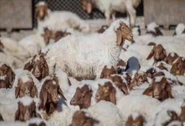 Anaç Koyun Keçi Destek Ödemeleri Bugün Başlıyor