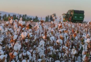 Pamuk Üreticileri Prim Desteğinin Artırılmasını İstiyor