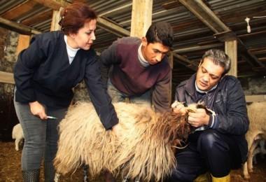 Yalova'da Küpeleme Ve Aşılama Çalışmaları Devam Ediyor