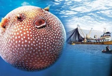 Balon Balığında Avlanma Yasağı Kaldırıldı