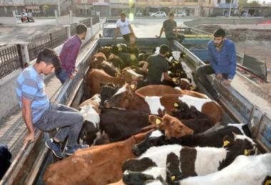 Genç Çiftçiler Hayvanlarını Teslim Almadı! 2 Bin Lira Etmez