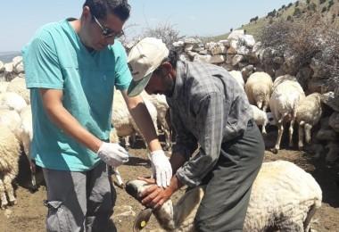 Seydikemer'de Koyun-Keçi Vebası ve Kuzulara Küpeleme İşlemi Başladı