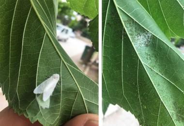 Amerikan Beyaz Kelebeği Zararlısına Karşı 2. Döl Mücadelesi Başlıyor