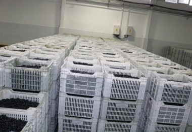 Marmarabirlik Yağlık Zeytin Alım Fiyatını 4 Liraya Çıkardı