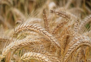 Tahıllar Ve Diğer Bitkisel Ürünler İle Sebzelerde Üretim Azaldı