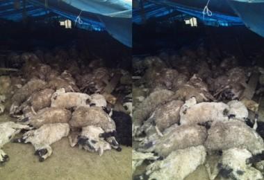 Elazığ'da Kurtlar, 120 Koyunu Telef Etti