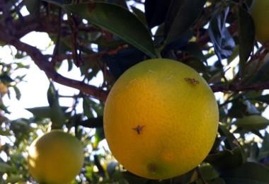 Akdeniz Meyve Sineği Ülkenin Yarısından Fazlasını Esir Aldı