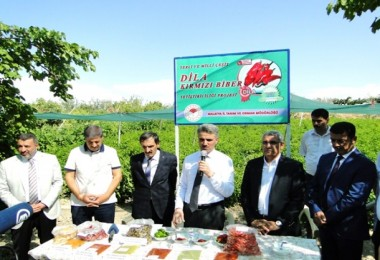 Yerli Üretim Dila Kırmızıbiber Yetiştiriciliği Hasadı Yapıldı