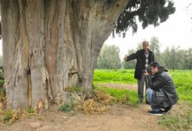 Arıları Kovmak İçin 700 Yıllık Ağaçları Yakıp, Kestiler