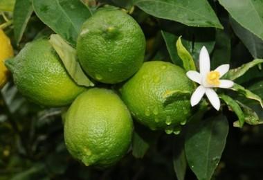 Limon İhracatı İzne Bağlandı!