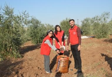 İdil İlçesinde Zeytin Hasatını Gönüllü Gençlerin Elleriyle Toplandı