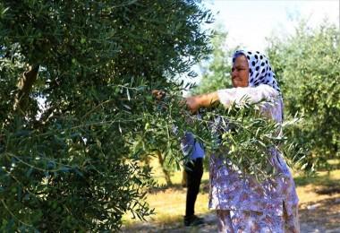 Zeytinde Halkalı Leke İle Mücadele Meyvesini Veriyor