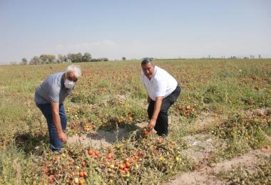 """Gürer: """"70 kuruşa mal edilen   domates tarlada 40 kuruş"""""""