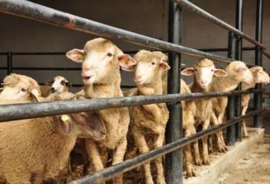 Koyun projesinde koyun yok