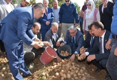 Yerli Ve Milli Patateslerin Hasadı Yapıldı