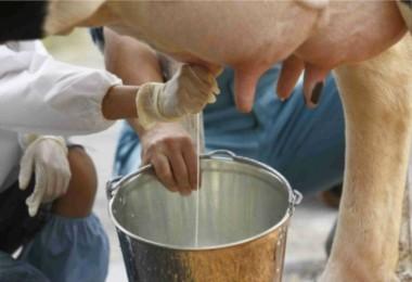 Toplanan İnek Sütü Mayıs Ayında Yüzde 2 Azaldı