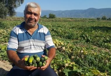 Turşuluk salatalık üreticisi yeni ürün arayışında Rekolte de düşük fiyatlar da