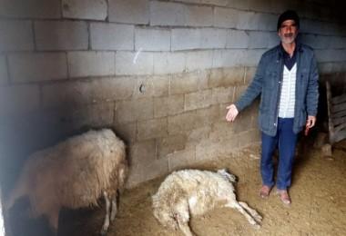 Çevreye gelişi güzel atılan bozulmuş peynirler, koyunları telef etti