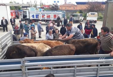 Genç Çiftçilere Hibe Edilen Büyükbaş Hayvanlar Teslim Edildi