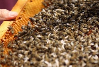 Trakya'da Yanlış Tarım İlaçları Arıları Öldürüyor, Toprağı Zehirliyor