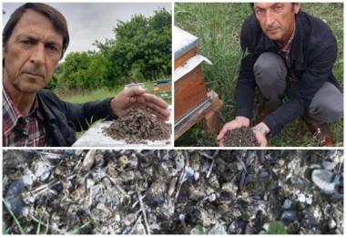 Aydın'da arı ölümleri devam ediyor